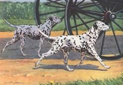 Dalmatische honden begeleiden rijtuig